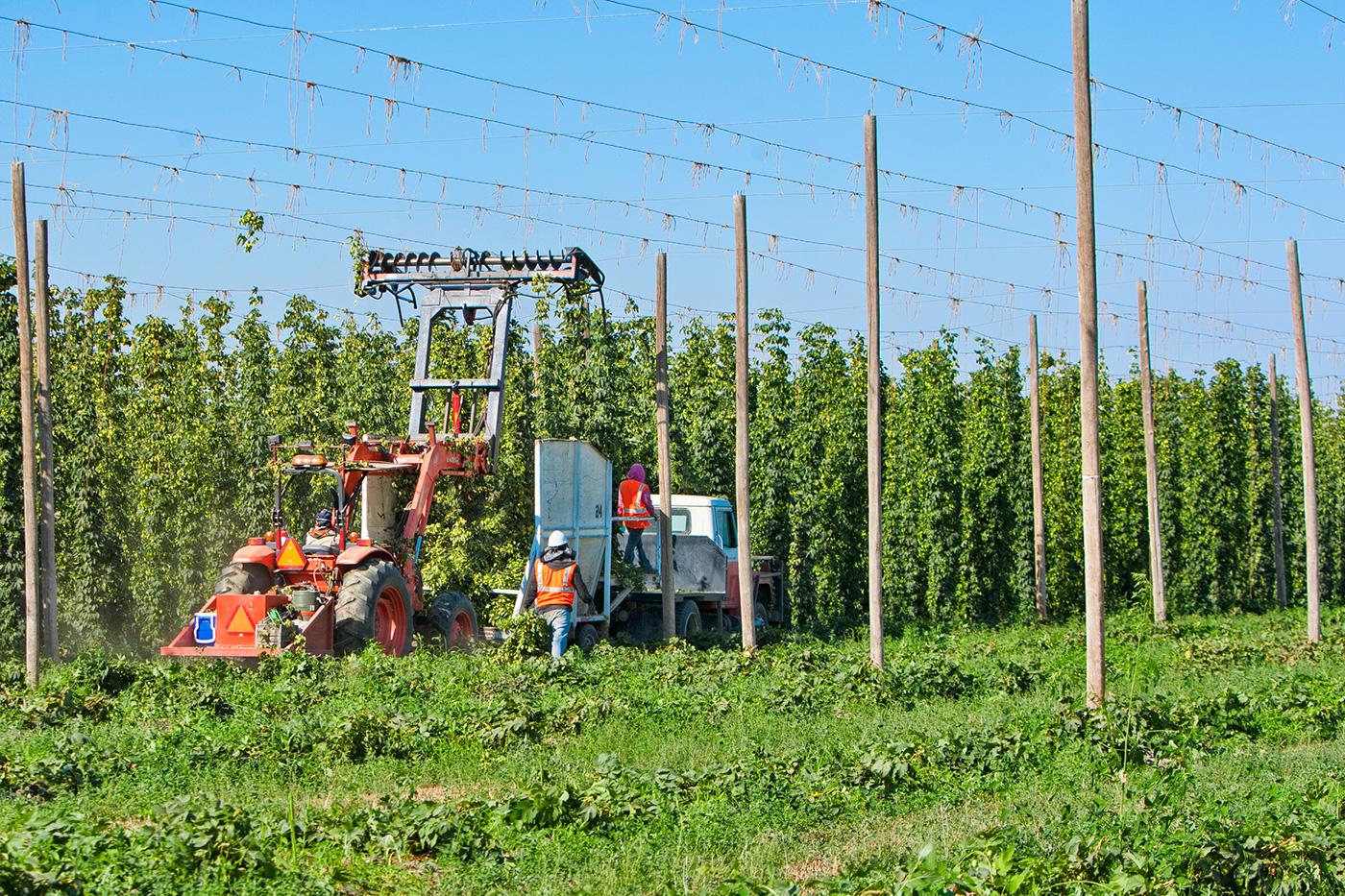 Сбор хмеля на плантациях Hopsteiner. Фото: CDStuder Photography