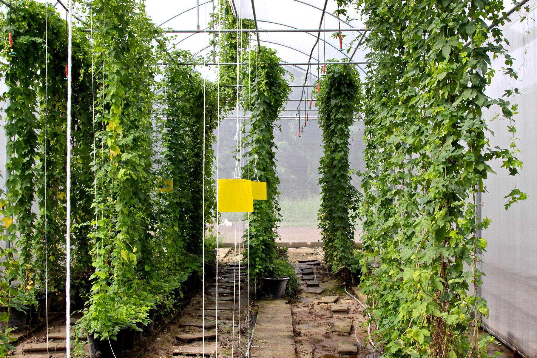 Выращивание хмеля в Таиланде