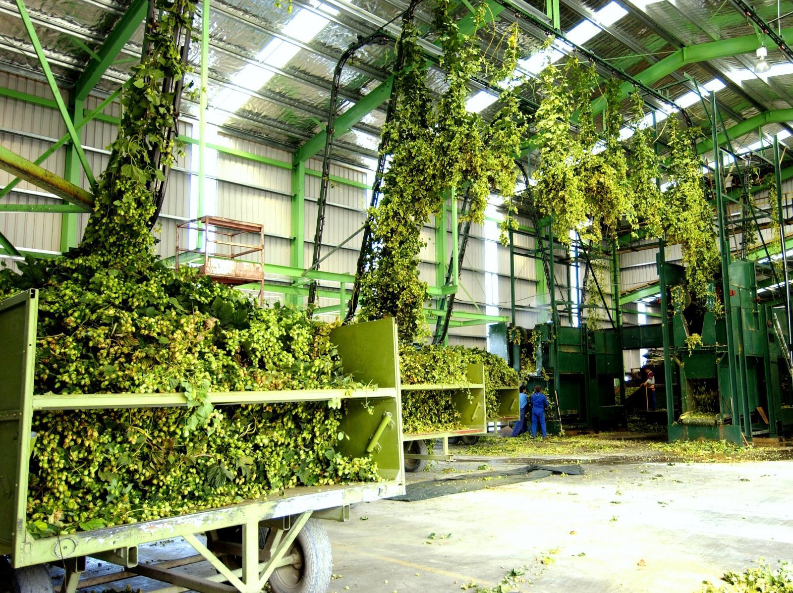 Хмель на New Zealand Hops Ltd.