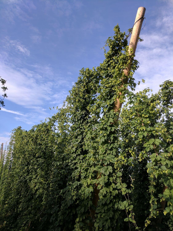 Хмель для пивоварни Avery Brewing