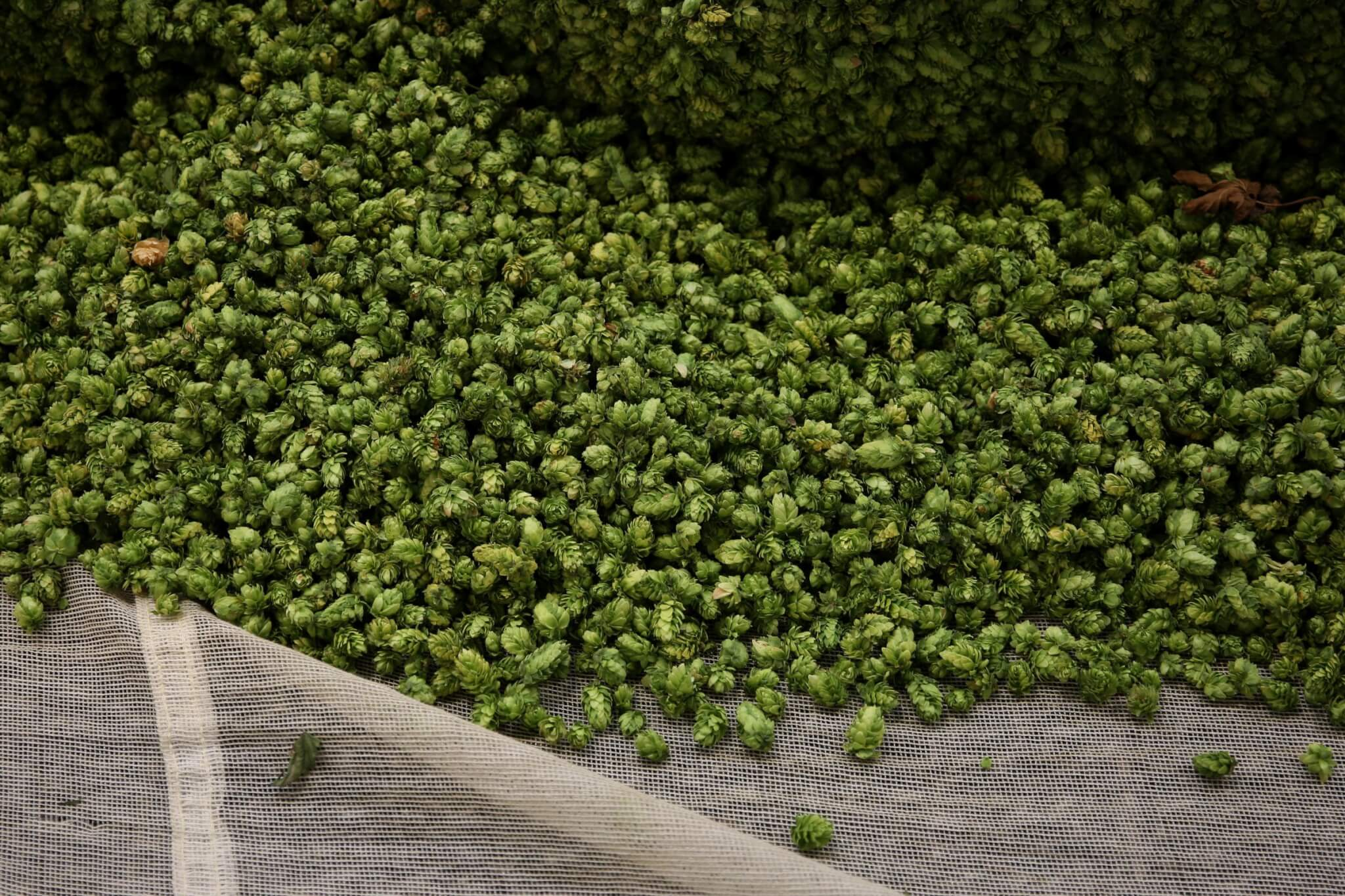ростки хмеля фото капуста