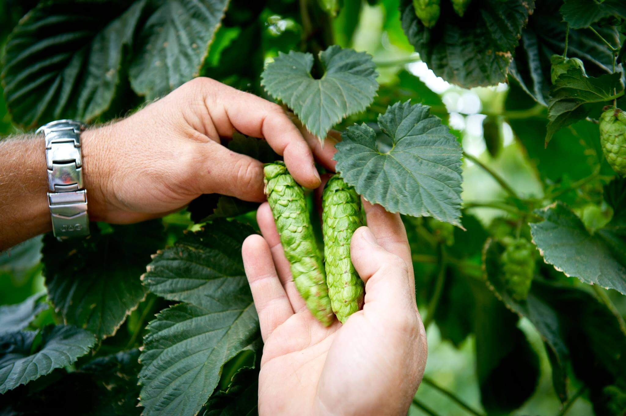 Сбор урожая хмеля в Австралии